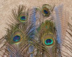 peacock feathers and plumes together