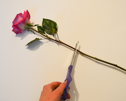 clipping rose stem